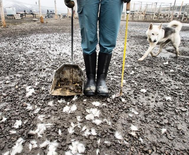 Jenny scoops poop at the Longyearbyen dog yard
