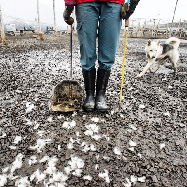 Jenny scoops poop at the Longyearbyen dog yard