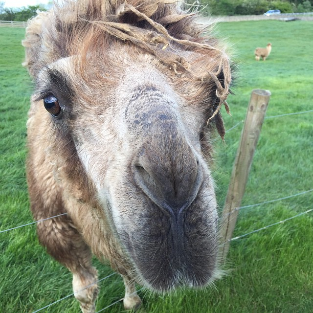 A camel says hello in England