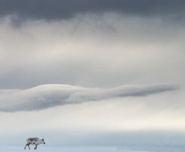 A reindeer wanders across a snowfield in Svalbard