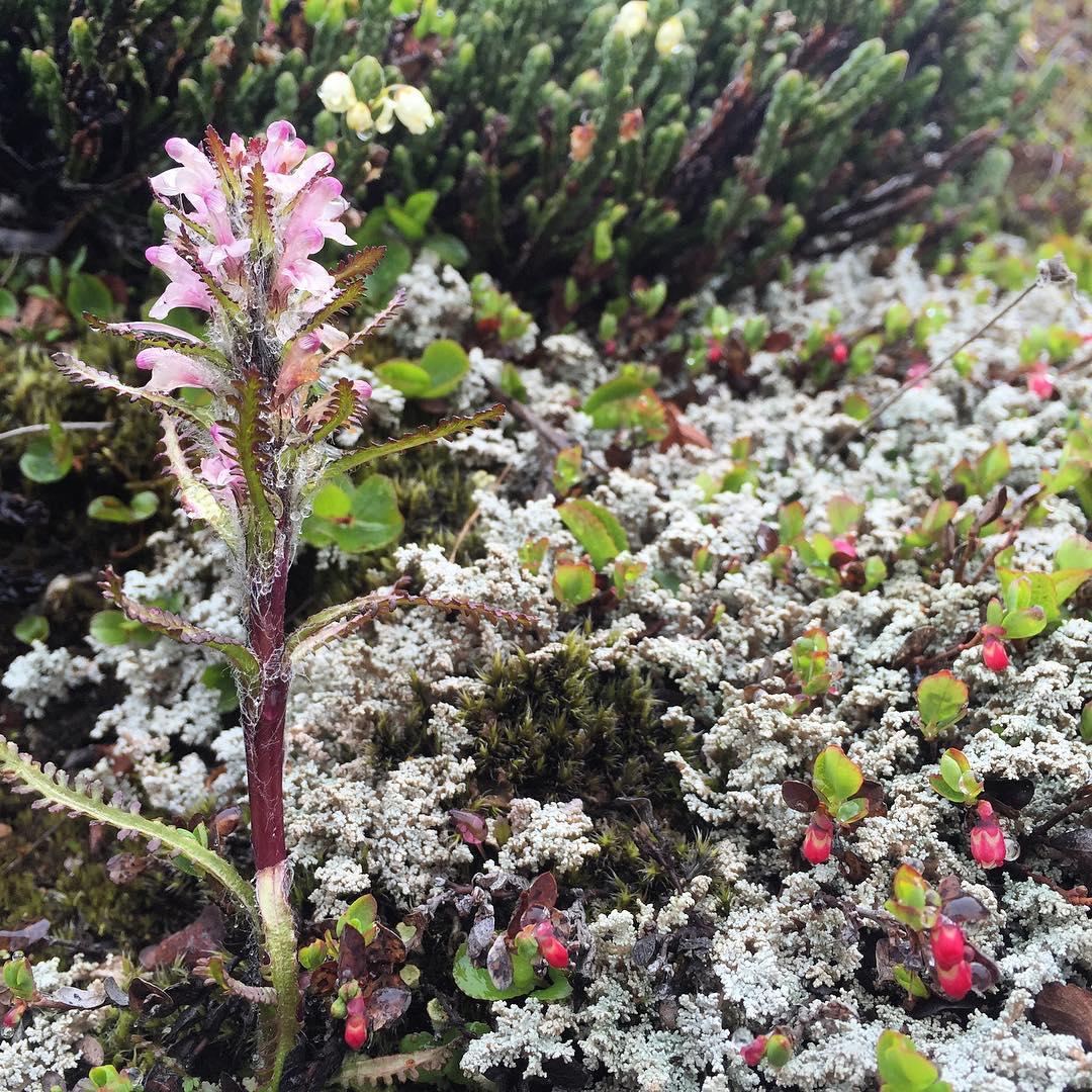 Pretty pink lousewort