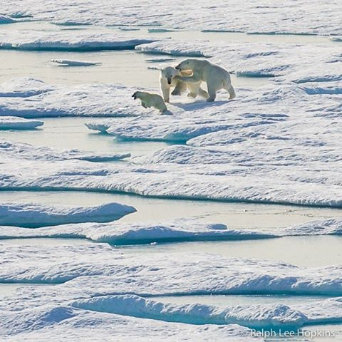 A male polar bear gives chase to mother and cub