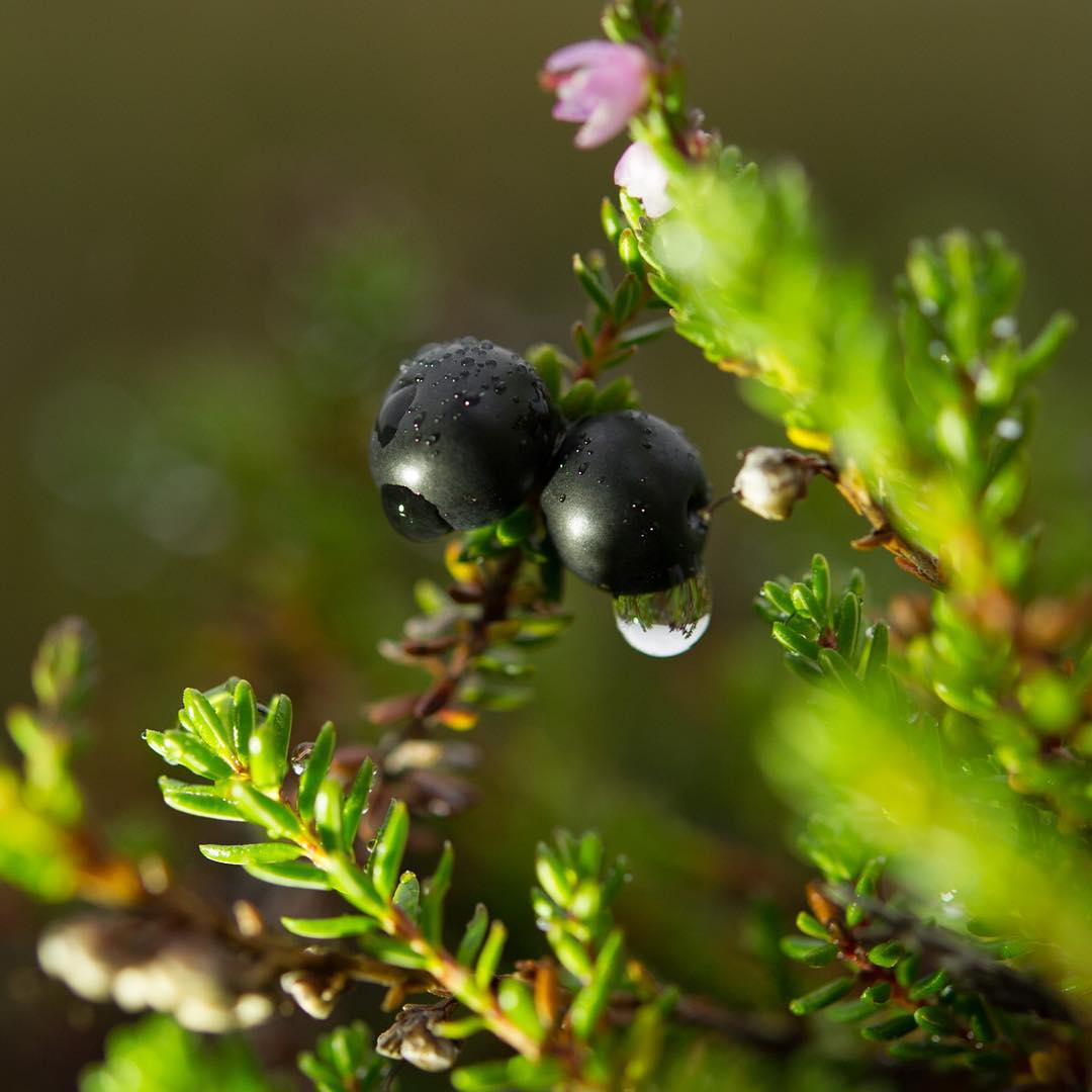 Up close crowberry with a droplet of water