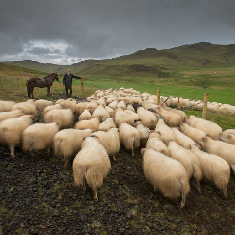 The sheep come back to the fold at Minni-Mástunga farm