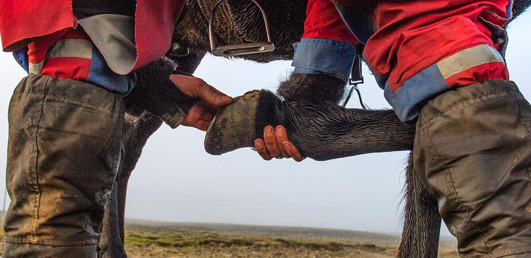 A sheepherder stops to check his horse's shoes