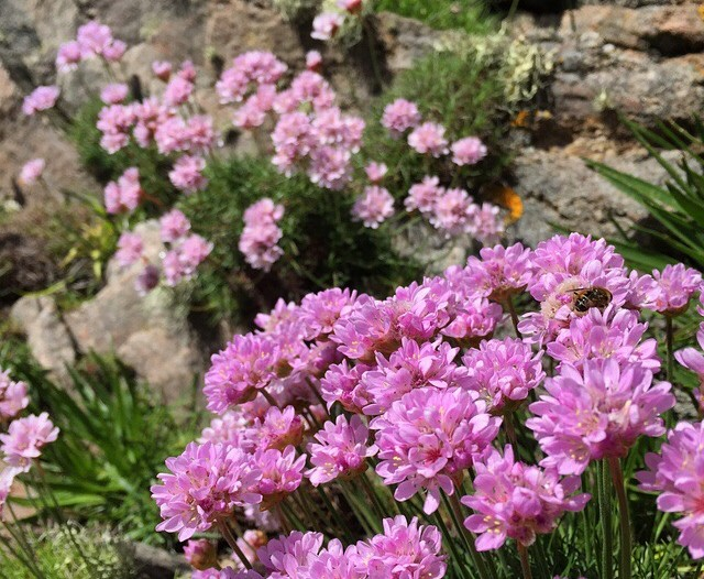 Pink flowers spring from the cliffs in the Outer Hebrides