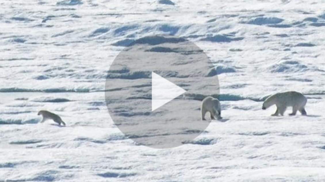 Three polar bears on the sea ice