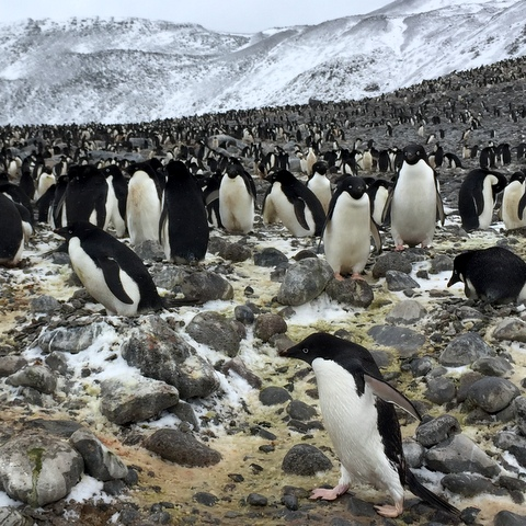 Many adelie penguins crowd Paulet Island