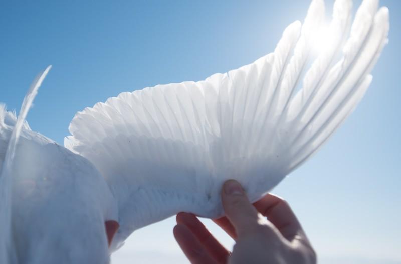 The sun shines through the wing of a ptarmigan.