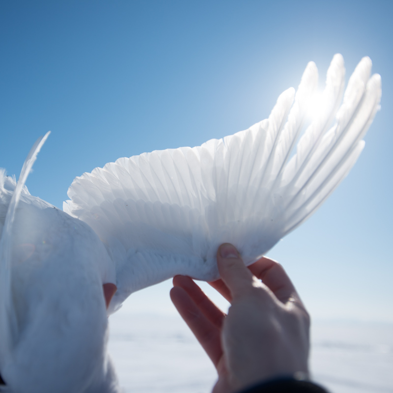 The sun shines through the wing of a ptarmigan.