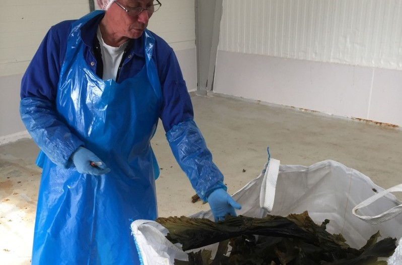 A man stands next to a bin of dried kelp.