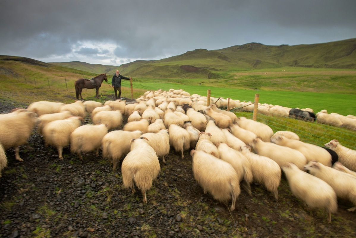 A herd of sheep is driven into a pasture.