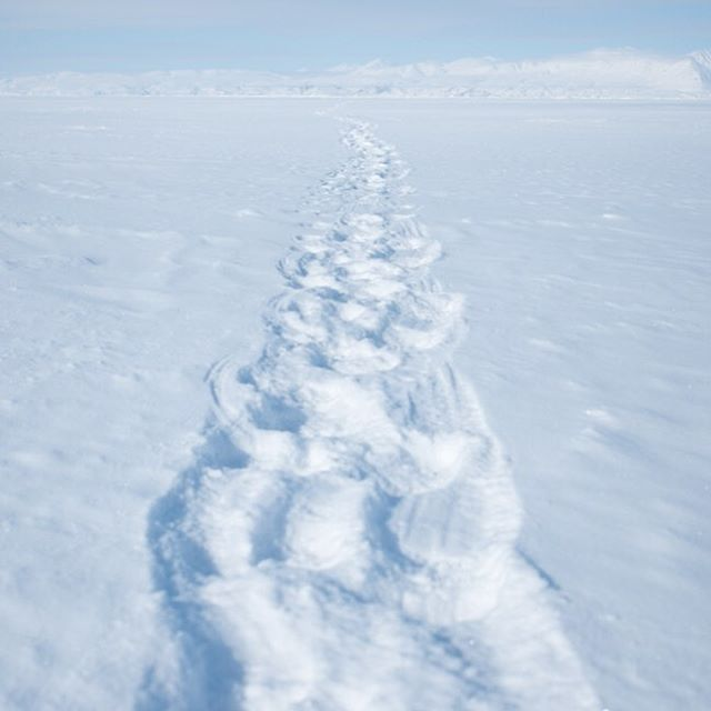 Polar bear tracks in the snow.