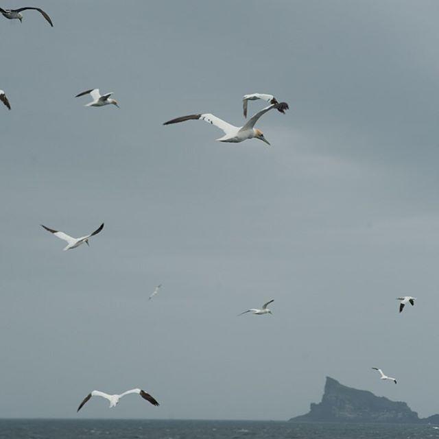 Gannets in flight.