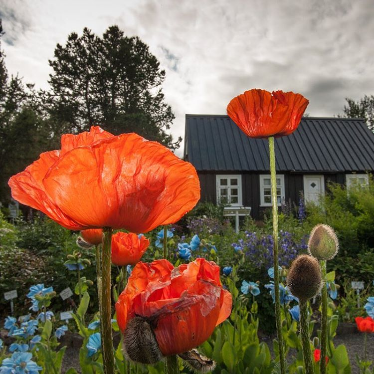 Poppies in Arctic Iceland.