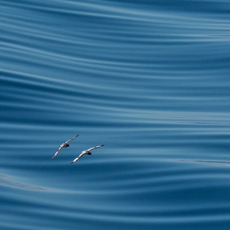 Two birds glide over smooth waters in the Drake Passage.