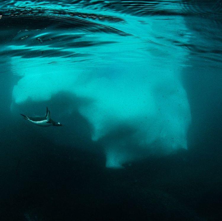 A diving penguin.