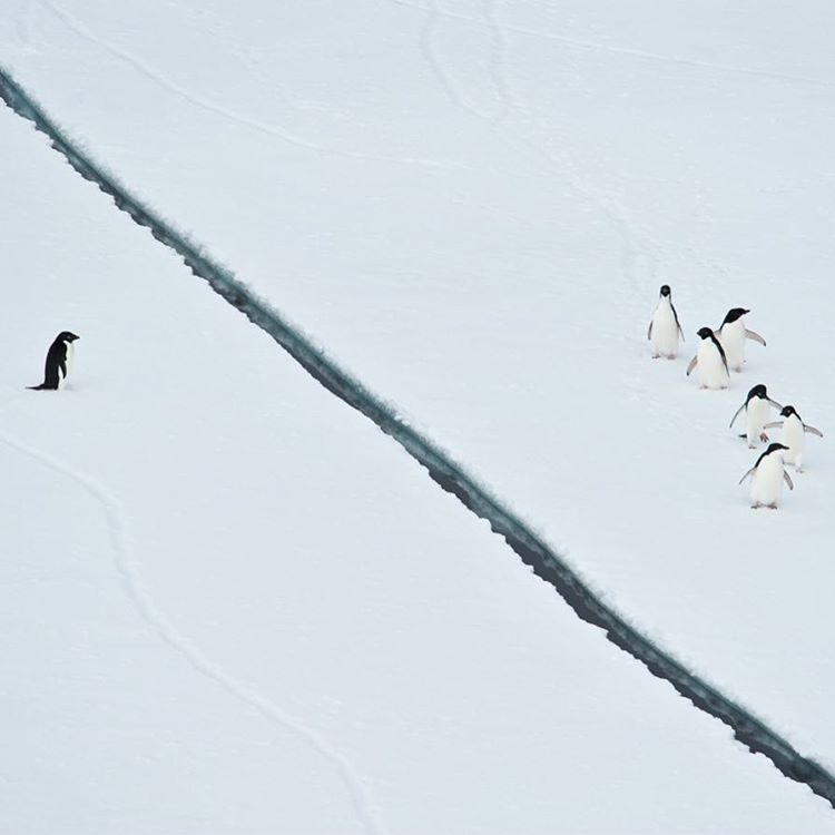 A penguin separated from its raft of fellow penguins.