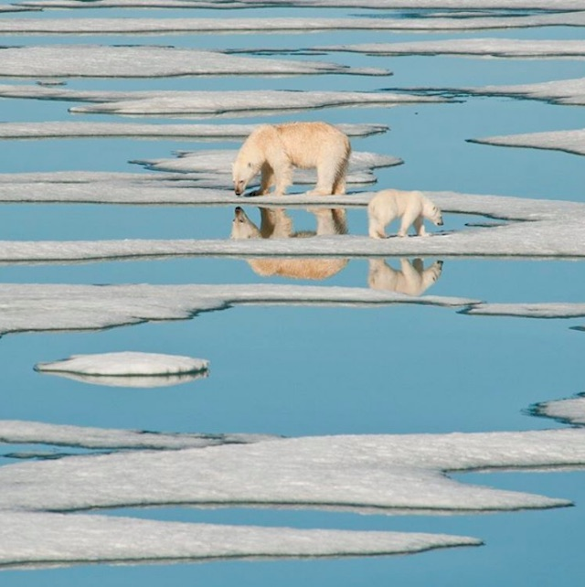 A mama polar bear and her cub walk on melting sea ice in Nunavut.