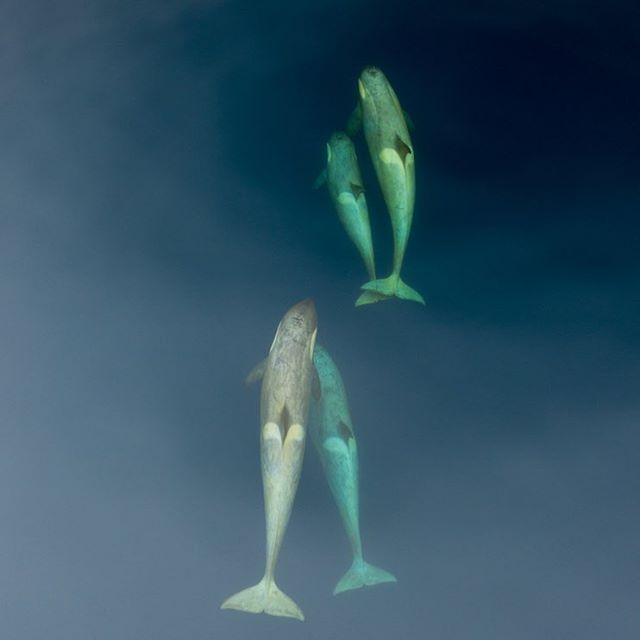 Four killers whales swimming.