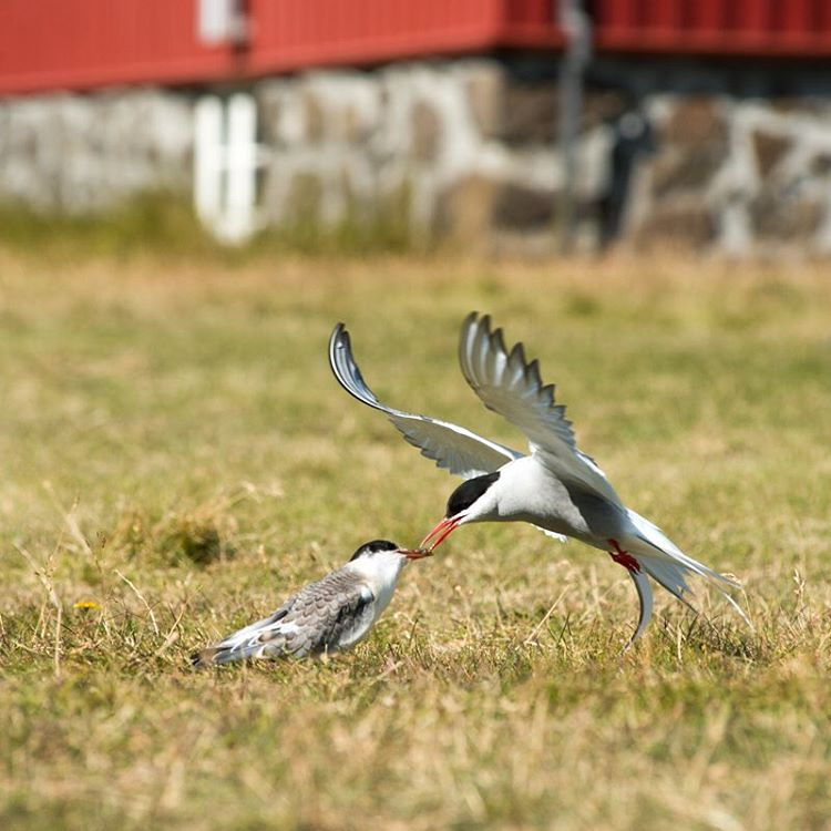 A pair of Arctic terns.