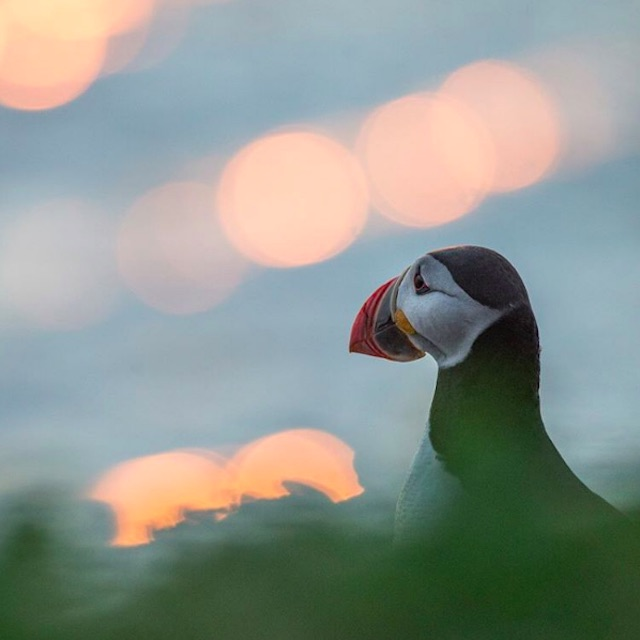 A puffin in Iceland staring out to sea.