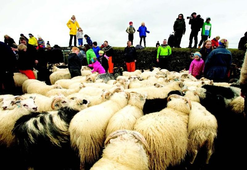 Iceland's annual sheep round-up.