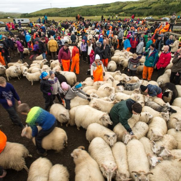 Icelanders sort their sheep at the Skaftholtsrettir, the annual sheep round up in the Gnupverjahreppur region.