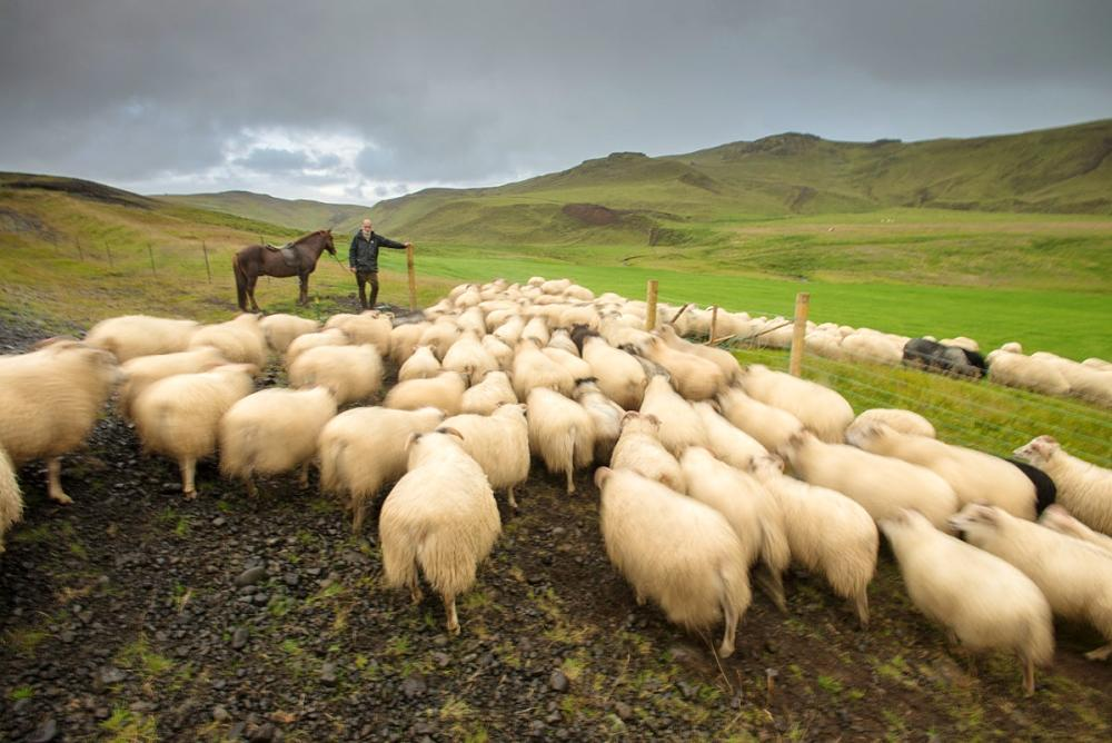 Finnbogi Johannsson lets his sheep into their home pasture at the end of a long day.