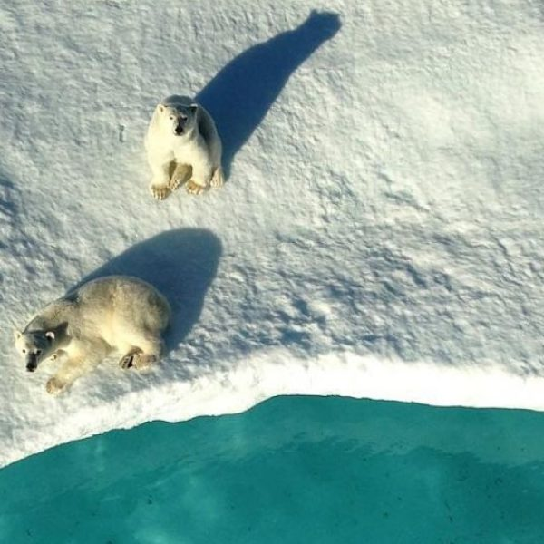 Two polar bears look up at the ship from an ice floe.