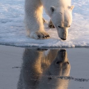 A polar bear peers down from the edge of the ice.