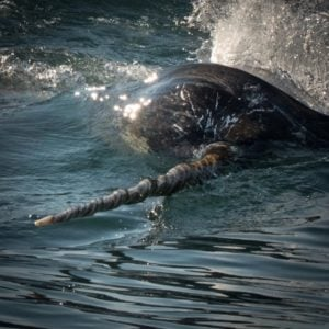 Narwhals are real life unicorns.