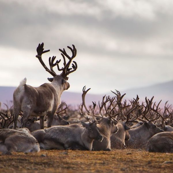 Reindeer on the tundra in Russia.