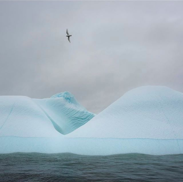 A petrel flies over ice in Antarctica.