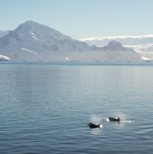 Pair of killer whales traveling together in Antartica.