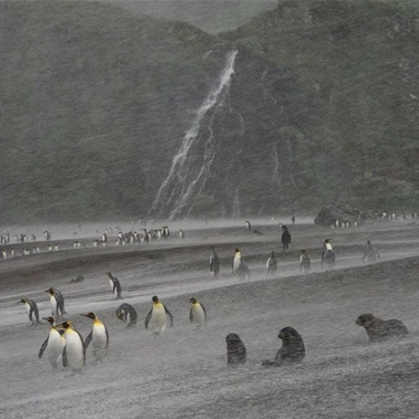 King Penguins in South Georgia's Ocean Harbour.