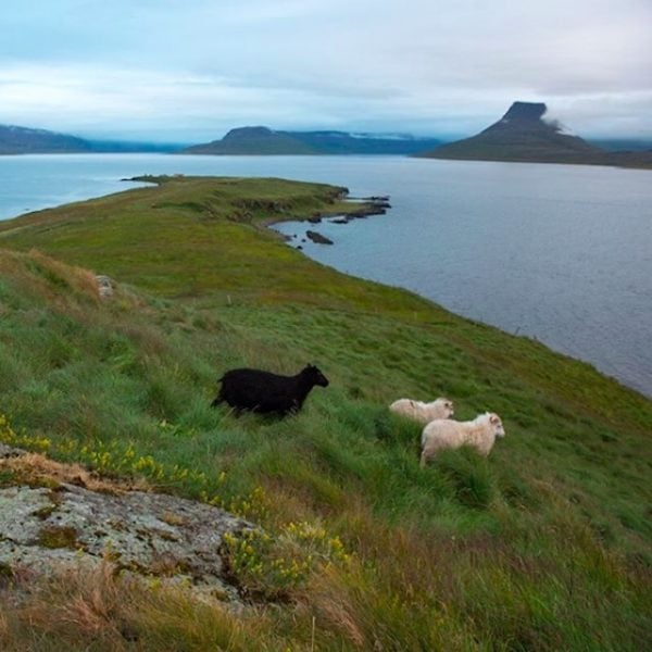Sheep in Iceland.