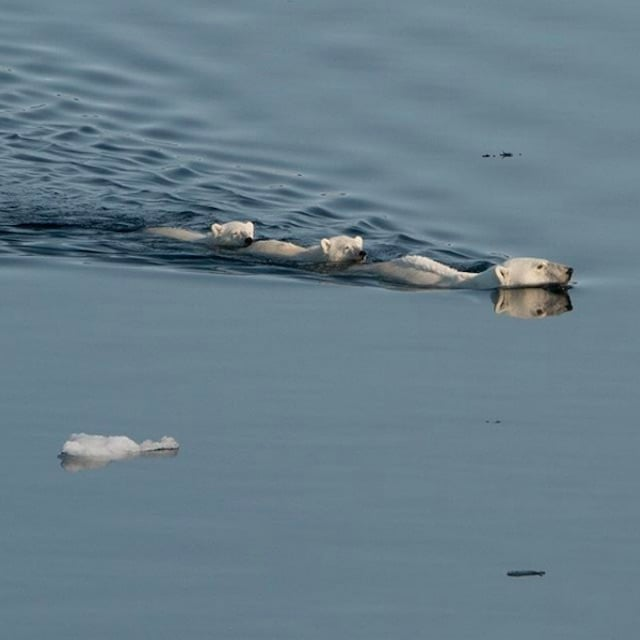 Mama bear and her two cubs swimming in Nunavut.