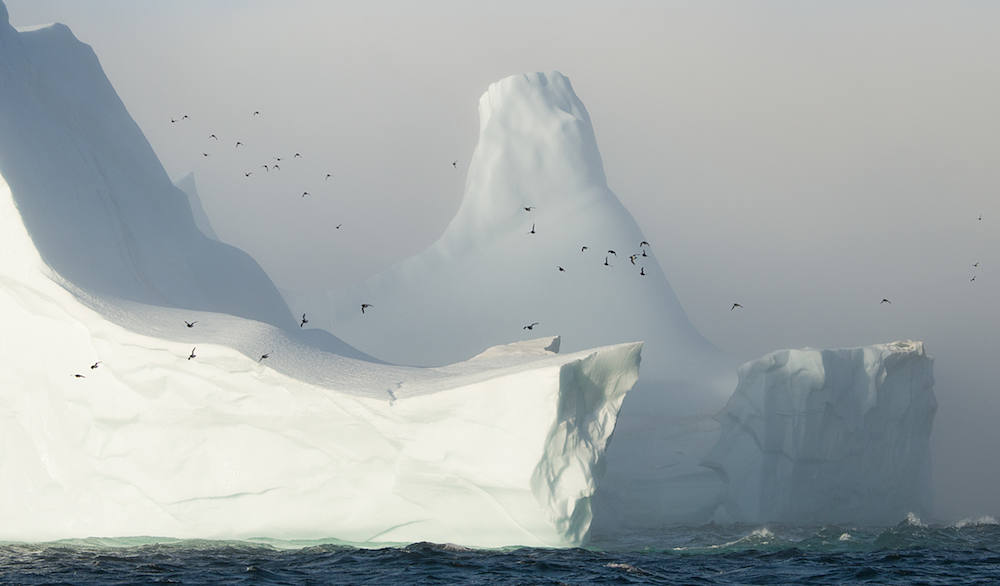 A flock of Dovkies or, little auks (Alle alle), fly past an iceberg grounded near the entrance of Scoresbysund, one of the planets largest fjord systems. East coast of Greenland.