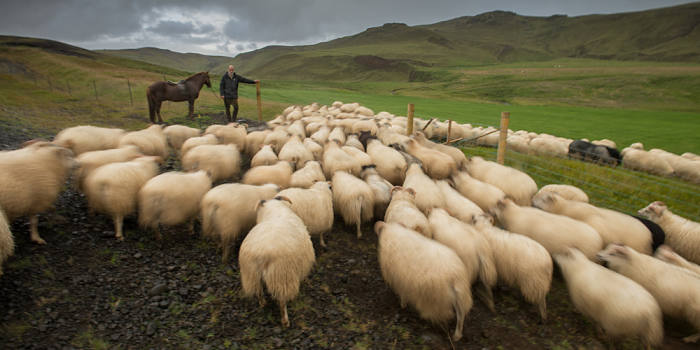 Icelandic sheep farmer, Finnbogi Johannsson, ushers his flock into their winter grazing pen on his family farm, Minni Mastunga. South western iceland.